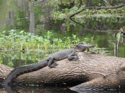 When I was there I got to be at least 50 feet away from the alligators.